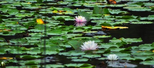 Lilies on the Water