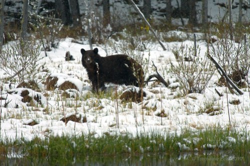 Kananaskis - Brown Bear