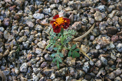 The little marigold that could