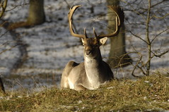 Majestic male fallow deer enjoying the sun
