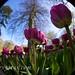 Tulipanes desde el ojo de pez