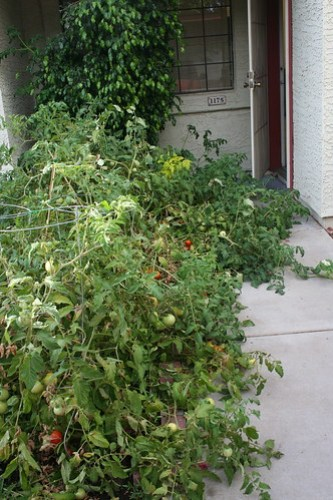 The tomatoes go wild