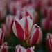 El tulipán y la pintura