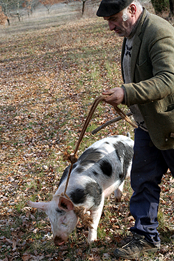 truffle hunting with pig