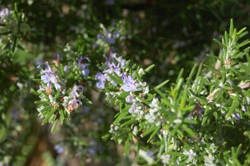 Rosmarinus officinalis in bloom.