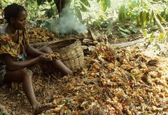 Woman removing palm kernels from the husk