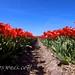 Entre tulipanes rojos