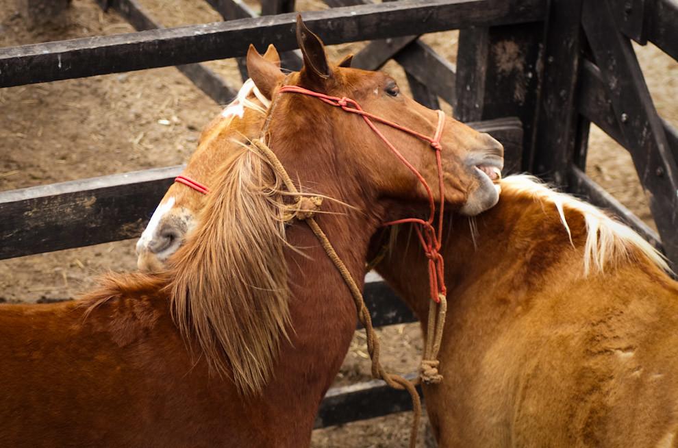 Caballos en los establos se muerden entre si sin explicación lógica de sus comportamientos. (Elton Núñez - Mariano Roque Alonso, Paraguay)