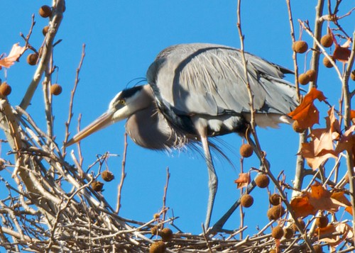 Great Blue Heron - 9