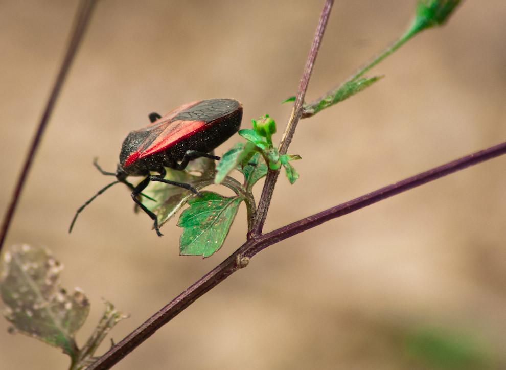 Un insecto de la familia Coleoptera se dedica a comer los brotes de hojas de arbustos en los campos de Paraguarí el pasado sábado 11 de Setiembre. (Elton Núñez - Caapucu, Paraguay)