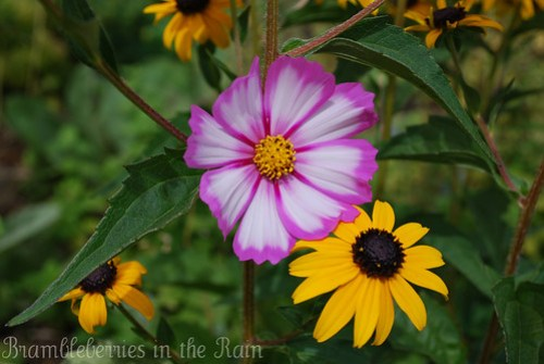 Black Eyed Susan with Cosmos