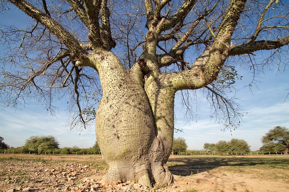 Un gran árbol de Samu´u crece en la plaza principal de la ciudad de Mariscal Estigarribia. (Tetsu Espósito - Mariscal Estigarribia, Chaco, Paraguay)