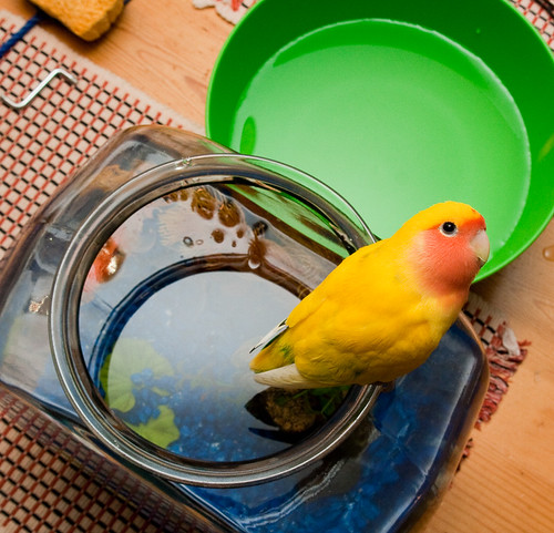 It's hard to clean the fish bowl when there's a lovebird in the way.