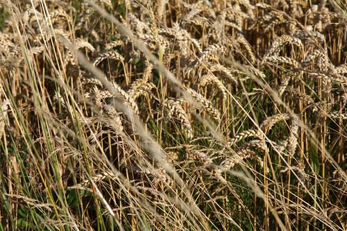 paris wheat