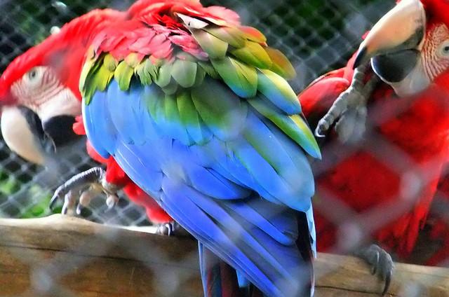 colorful_bird_mysore_zoo