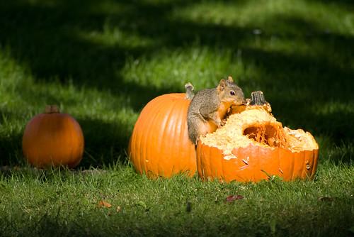 Harvest Squirrel