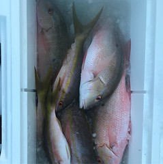 Had a little fun with the 12lb. Mutton Snapper and Yellow Tails. #spellbound #deepseafishingmiami