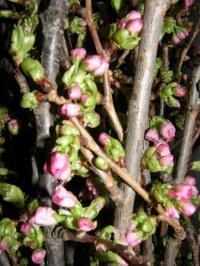粉红色的樱桃