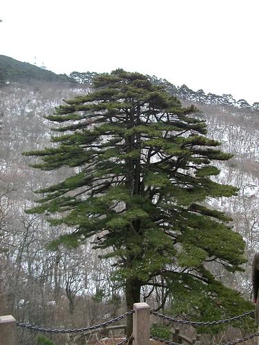 Famous Tree on Yellow Mountain