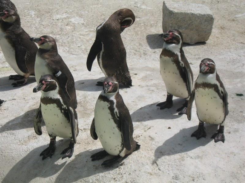 Penguins at Newquay Zoo, Cornwall
