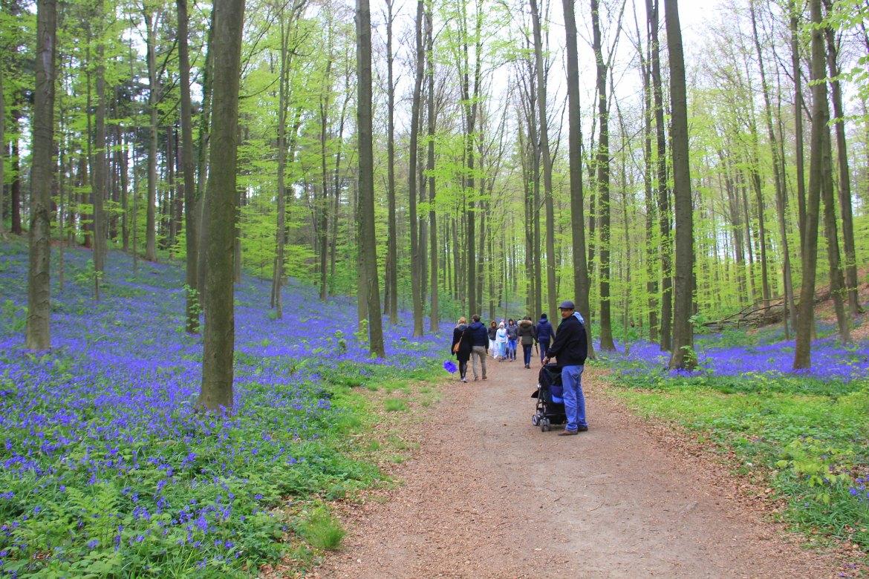 #travelbloggerindia #hallerbosbelgium #bluebellsbelgium #belgiumtourism #blueforestbelgium