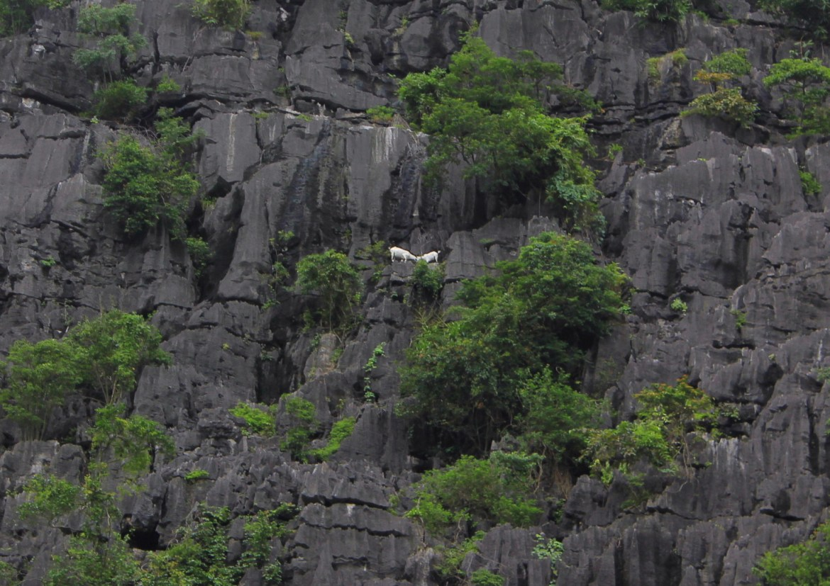 skippy mountain goats of tam coc