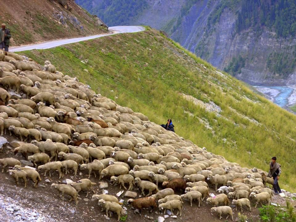 Gujjars herding their animals near Gurez