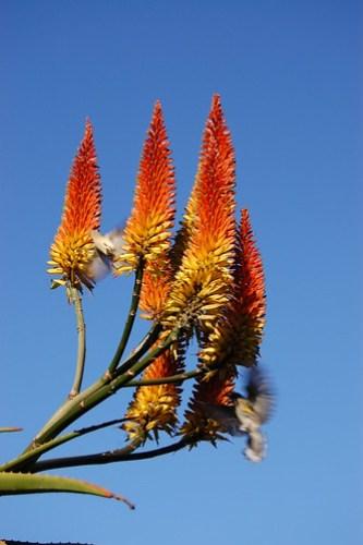 Aloe blooming with bird.