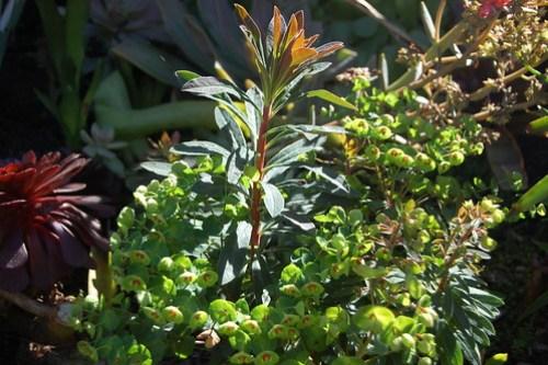 Euphorbia martinii 'Tiny Tim'