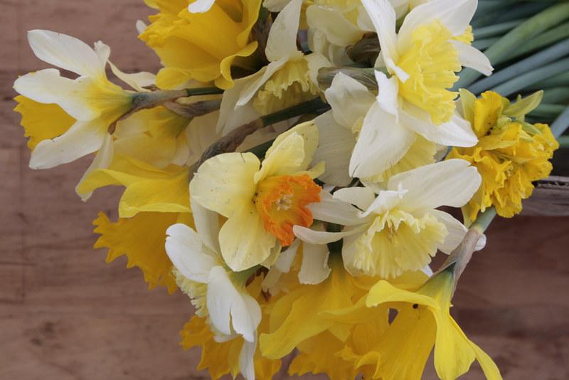 daffodils, dirty
