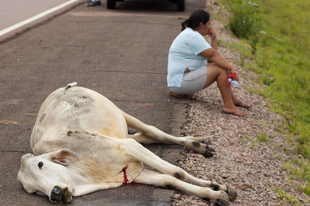 Una mujer lamenta la perdida de su ganado en un accidente de tránsito sobre la ruta camino a Sapucai, tuvieron que sacrificarlo con un cuchillo en la vena yugular para que muera instantáneamente y evitar su prolongado sufrimiento. Se está estudiando un proyecto de Ley que castigará a los propietarios de los ganados sueltos por las rutas a través del faenado y la entrega de la carne al Estado para su redistribución a personas necesitadas. (Elton Núñez - Sapucai, Paraguay)