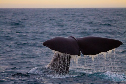 The tail of a sperm whale
