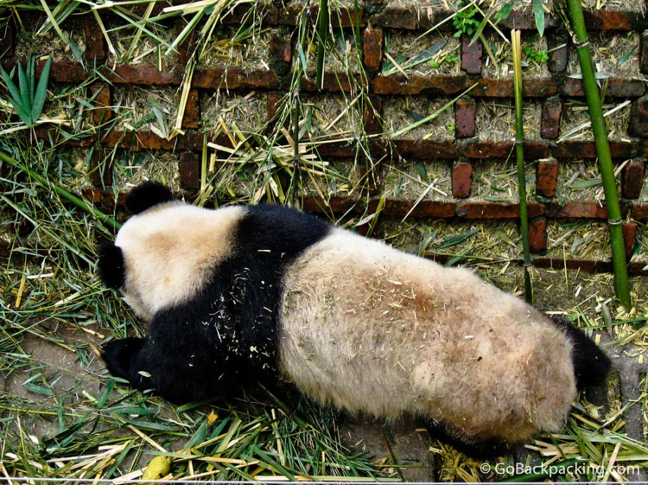 essay on panda bears Panda essay life span of giant pandas  it is also known as the panda bear, bamboo bear, or, in chinese, as daxiongmao, the large bear cat this bear-like.