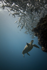 Turtle and School of Jack Fish