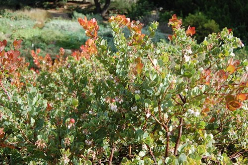 Canyon Blush Manzanita - Arctostaphylos glauca 'Canyon Blush'