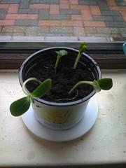 Van de buurvrouw ook nog zonnebloemen gekregen... #Tuin
