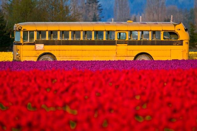 Tulip school bus