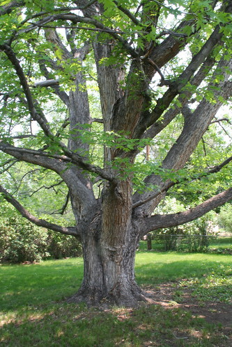 tree, backyard