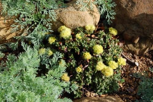 Lake Tahoe Buckwheat - Eriogonum umbellatum 'Lake Tahoe'