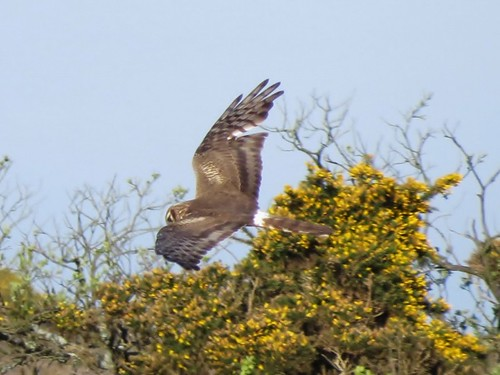 "Montagu's Harrier, The Lizard, 25.04.14 (J.St Ledger) • <a style=""font-size:0.8em;"" href=""http://www.flickr.com/photos/30837261@N07/14004467872/"" target=""_blank"">View on Flickr</a>"