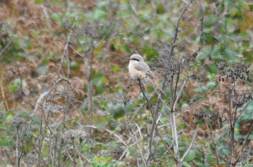 "Daurian Shrike, Pendeen, 051013 (B.Moore) • <a style=""font-size:0.8em;"" href=""http://www.flickr.com/photos/30837261@N07/10156503253/"" target=""_blank"">View on Flickr</a>"