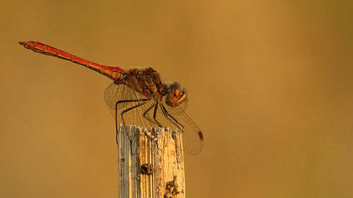 """Dragonfly enjoying the last sunlight • <a style=""""font-size:0.8em;"""" href=""""http://www.flickr.com/photos/22289452@N07/9465210955/"""" target=""""_blank"""">View on Flickr</a>"""