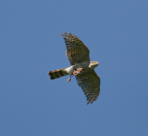 "Sparrowhawk • <a style=""font-size:0.8em;"" href=""http://www.flickr.com/photos/30837261@N07/10722419655/"" target=""_blank"">View on Flickr</a>"