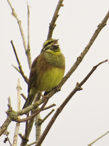 "Cirl Bunting, 181113 (D.Mays) • <a style=""font-size:0.8em;"" href=""http://www.flickr.com/photos/30837261@N07/10929042643/"" target=""_blank"">View on Flickr</a>"