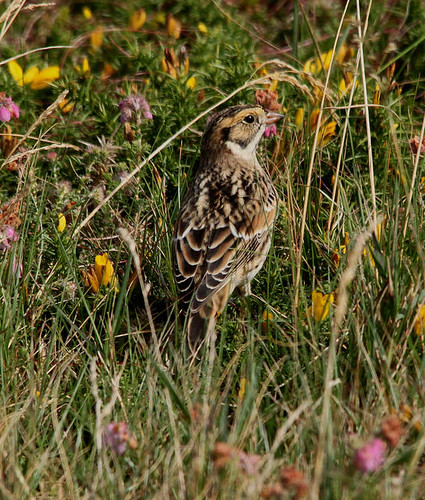 """Lapland Bunting, Porthgwarra, 10.09.16 (P.Freestone) • <a style=""""font-size:0.8em;"""" href=""""http://www.flickr.com/photos/30837261@N07/30044201401/"""" target=""""_blank"""">View on Flickr</a>"""