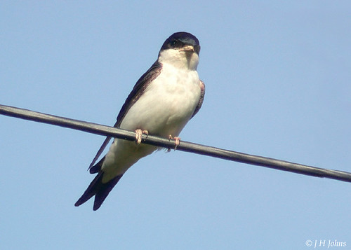 "House Martin (J H Johns) • <a style=""font-size:0.8em;"" href=""http://www.flickr.com/photos/30837261@N07/10722966735/"" target=""_blank"">View on Flickr</a>"