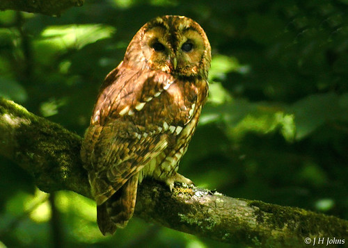 "Tawny Owl (J H Johns) • <a style=""font-size:0.8em;"" href=""http://www.flickr.com/photos/30837261@N07/10723259973/"" target=""_blank"">View on Flickr</a>"