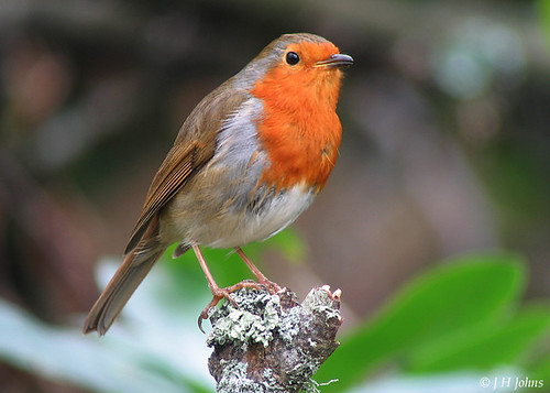 """Robin (J H Johns) • <a style=""""font-size:0.8em;"""" href=""""http://www.flickr.com/photos/30837261@N07/10723336104/"""" target=""""_blank"""">View on Flickr</a>"""