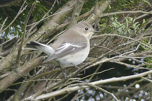 """Pied Flycatcher, Rame, 09.10.16, (D.Allan) • <a style=""""font-size:0.8em;"""" href=""""http://www.flickr.com/photos/30837261@N07/30197571326/"""" target=""""_blank"""">View on Flickr</a>"""