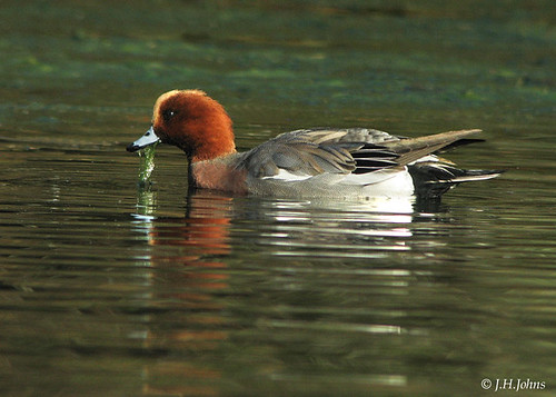 """Wigeon • <a style=""""font-size:0.8em;"""" href=""""http://www.flickr.com/photos/30837261@N07/10723185083/"""" target=""""_blank"""">View on Flickr</a>"""